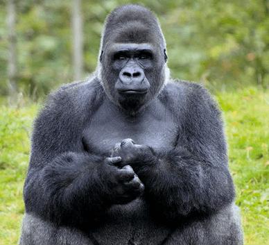 Gorille de l'Ouest