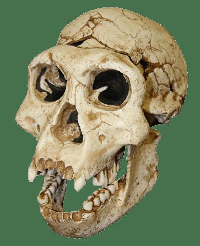Crâne d'Homo georgicus