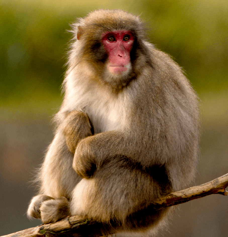 Macaque japonnais