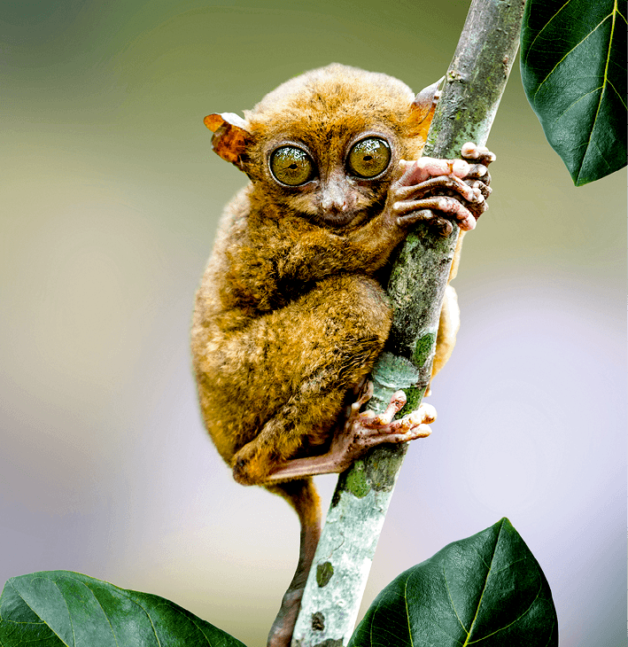 tarsier des Philippines