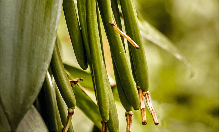 Vanilline synthèse peut se faire en trois étapes à partir de l'isoeugénol, note de vanille