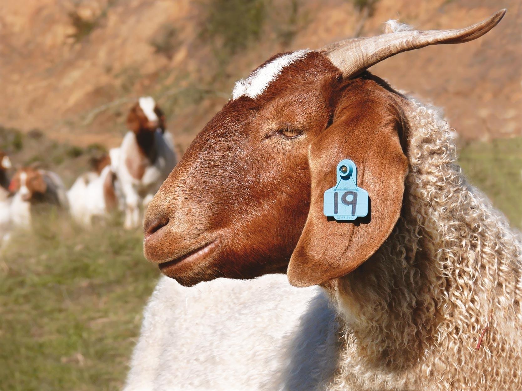 Ex. 15 La chèvre