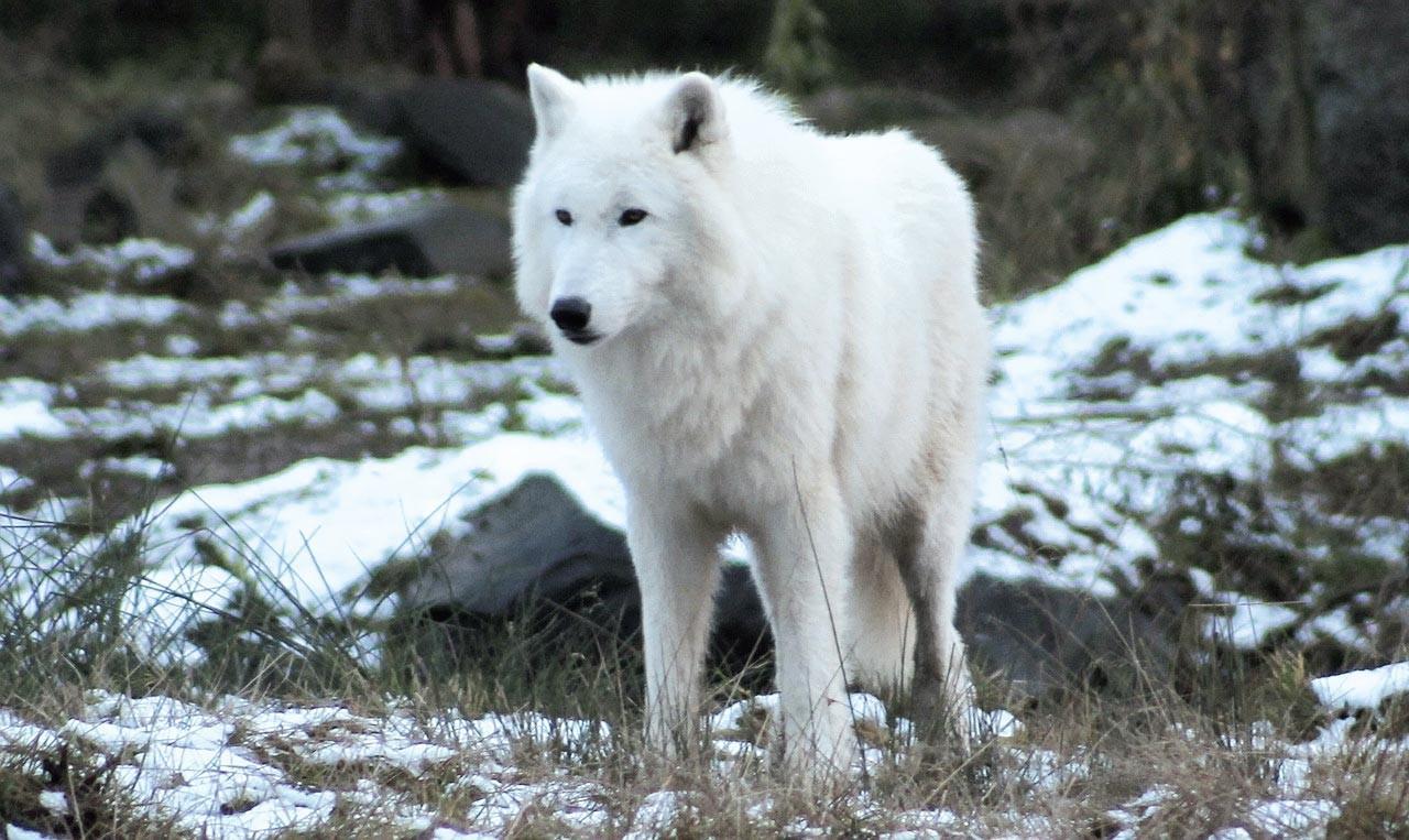 Ex. 13 Loup blanc