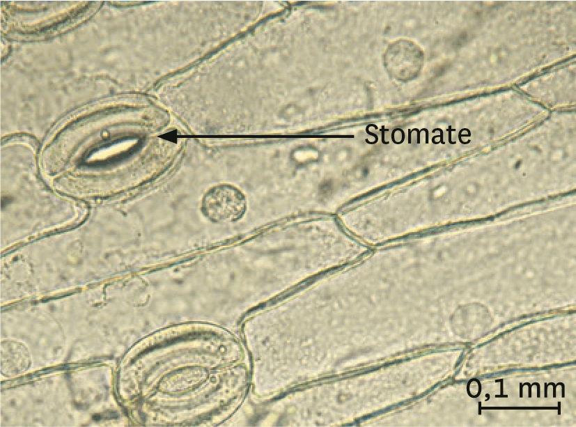 <stamp theme='svt-green1'>Doc. 5</stamp> Un épiderme de feuille observé au microscope optique.
