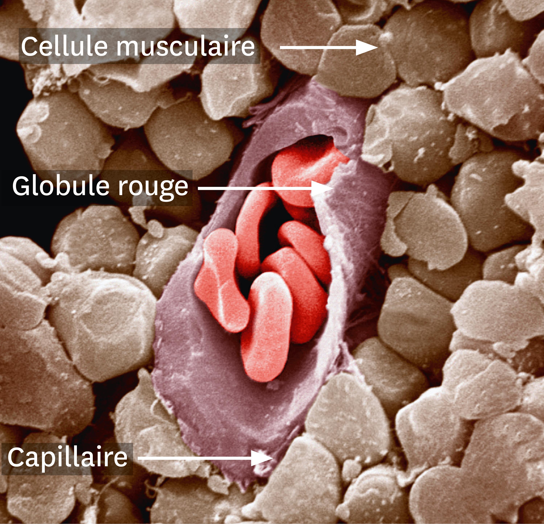 <stamp theme='svt-green1'>Doc. 4</stamp> Une observation au microscope électronique à balayage d'un capillaire sanguin coupé au niveau d'un muscle.