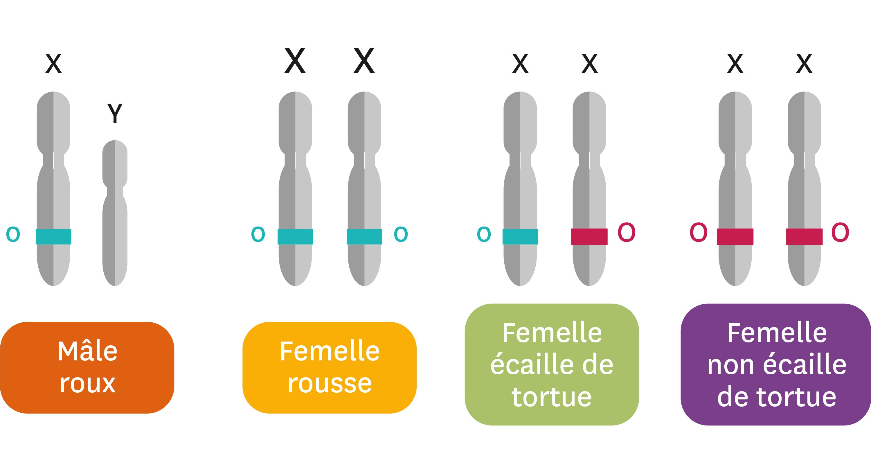 <stamp theme='svt-green1'>Doc. 8</stamp> Les chromosomes et allèles du gène O selon le pelage du chat.