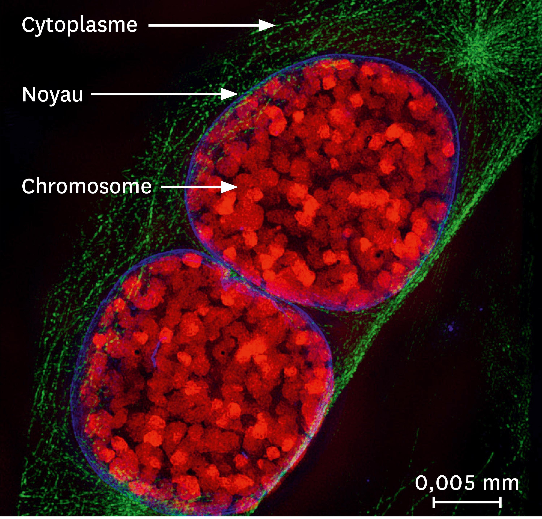 <stamp theme='svt-green1'>Doc. 5</stamp> Une observation par microscopie à fluorescence de noyaux de souris.