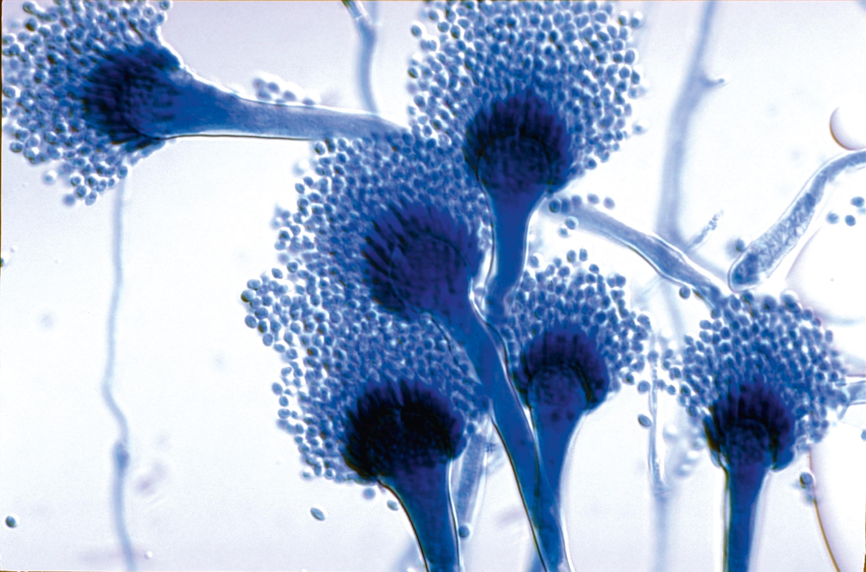 <stamp theme='svt-green1'>Doc. 2</stamp> Un champignon du genre Aspergillus observé au microscope optique.