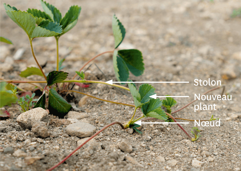 <stamp theme='svt-green1'>Doc. 2</stamp> Des stolons sur un plant de fraisier.