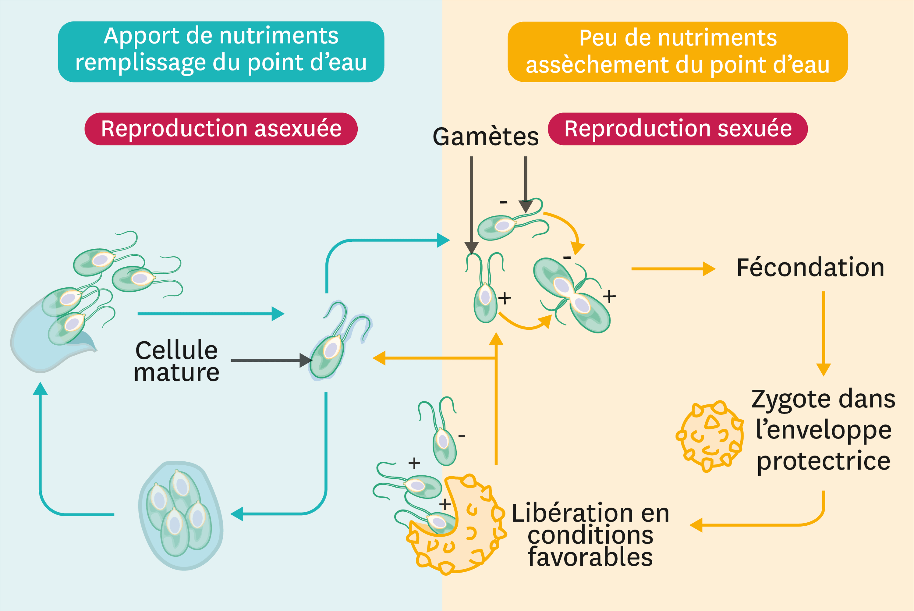 <stamp theme='svt-green1'>Doc. 4</stamp> Le cycle de vie de chlamydomonas.