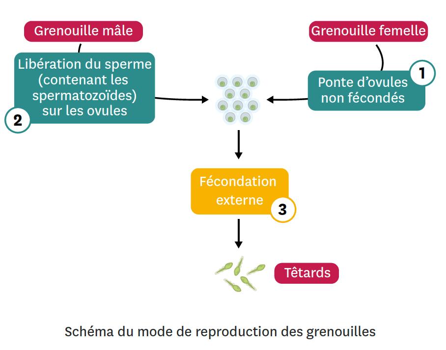 <stamp theme='svt-green1'>Doc. 2</stamp> Schéma du mode de reproduction des grenouilles.