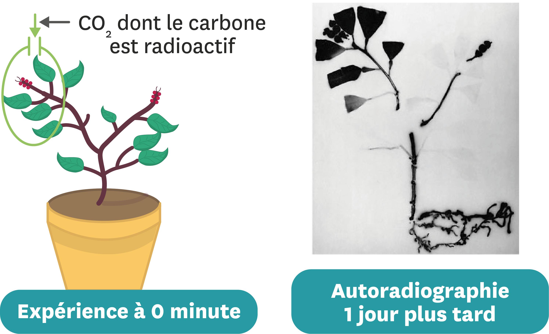 <stamp theme='svt-green1'>Doc. 5</stamp> Une manipulation permettant de suivre le devenir du dioxyde de carbone absorbé.