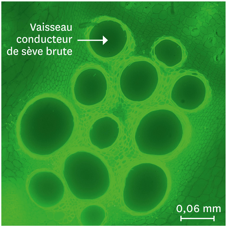 <stamp theme='svt-green1'>Doc. 4</stamp> Une coupe transversale des vaisseaux conducteurs des sèves observée au microscope optique.