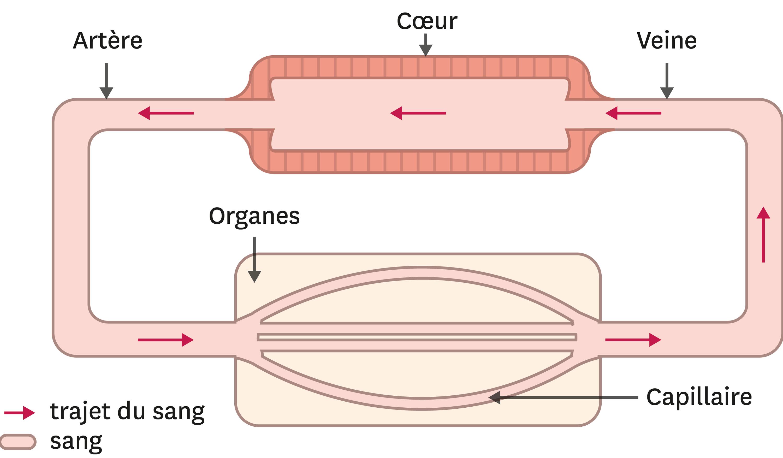 <stamp theme='svt-green1'>Doc. 4</stamp> L'appareil circulatoire simplifié d'un organisme vertébré comme la grenouille.