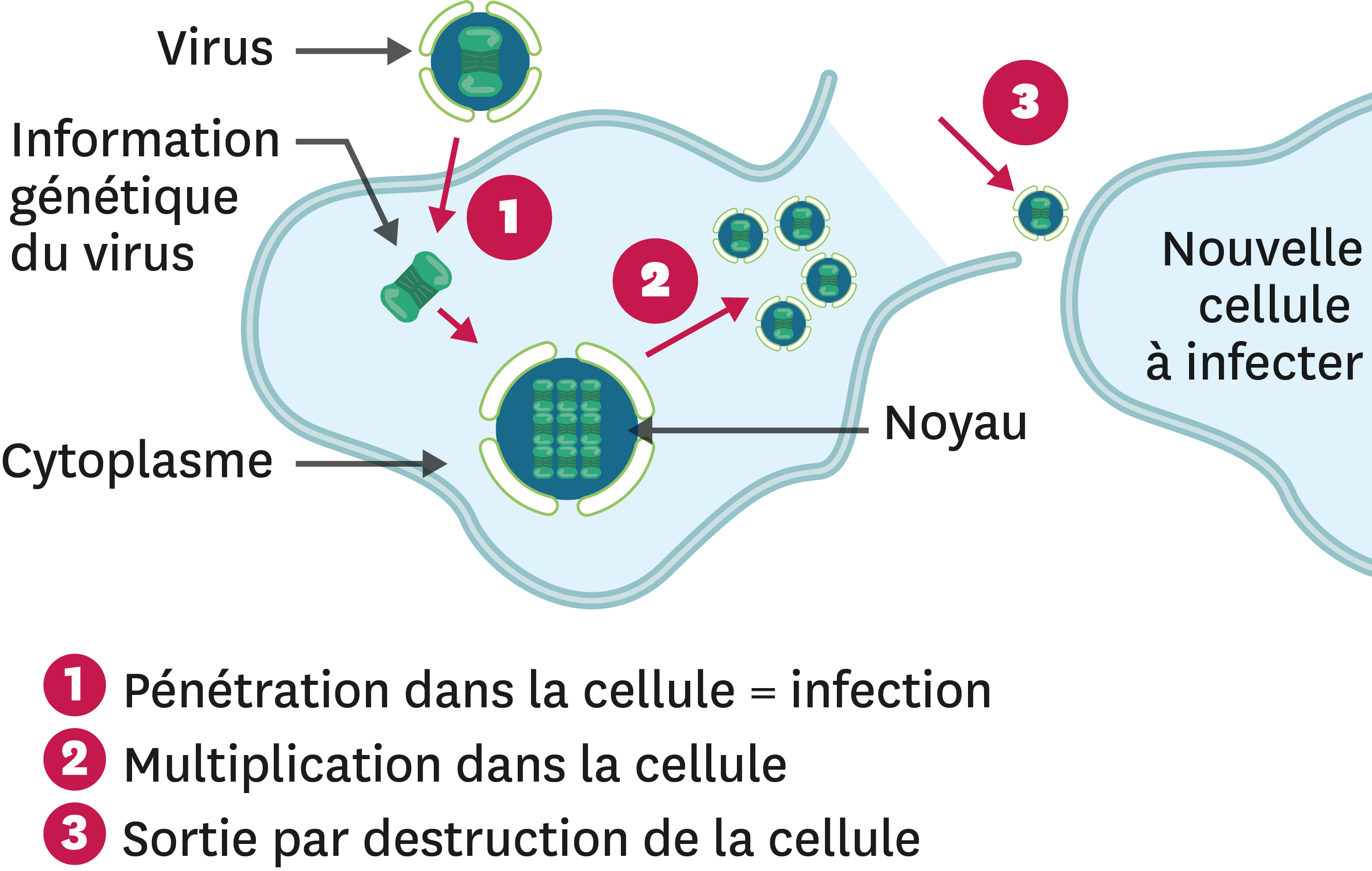 <stamp theme='svt-green1'>Doc. 3</stamp> De la contamination à l'infection dans le cas d'un virus.