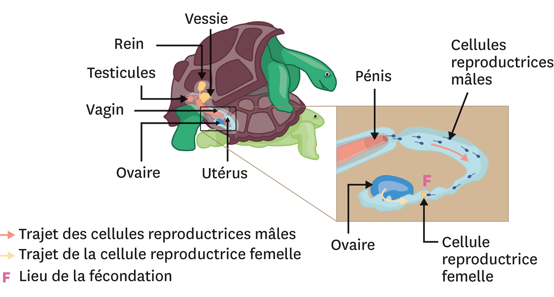 <stamp theme='svt-green1'>Doc. 4</stamp> Accouplement et fécondation interne chez les tortues.