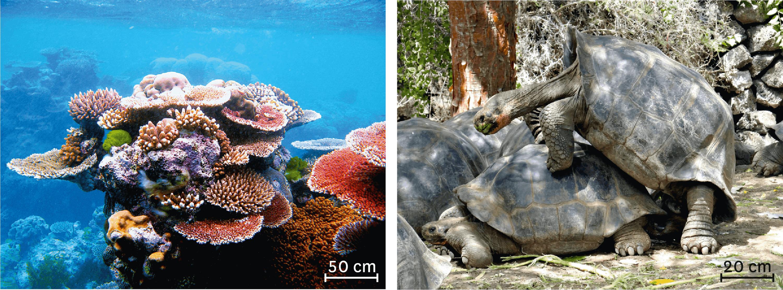 <stamp theme='svt-green1'>Doc. 1</stamp> La reproduction du corail et l'accouplement de tortues géantes des Galápagos.