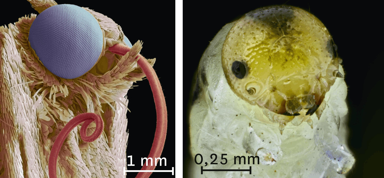 <stamp theme='svt-green1'>Doc. 2</stamp> Les têtes d'un papillon et d'une chenille vues au microscope électronique à balayage.