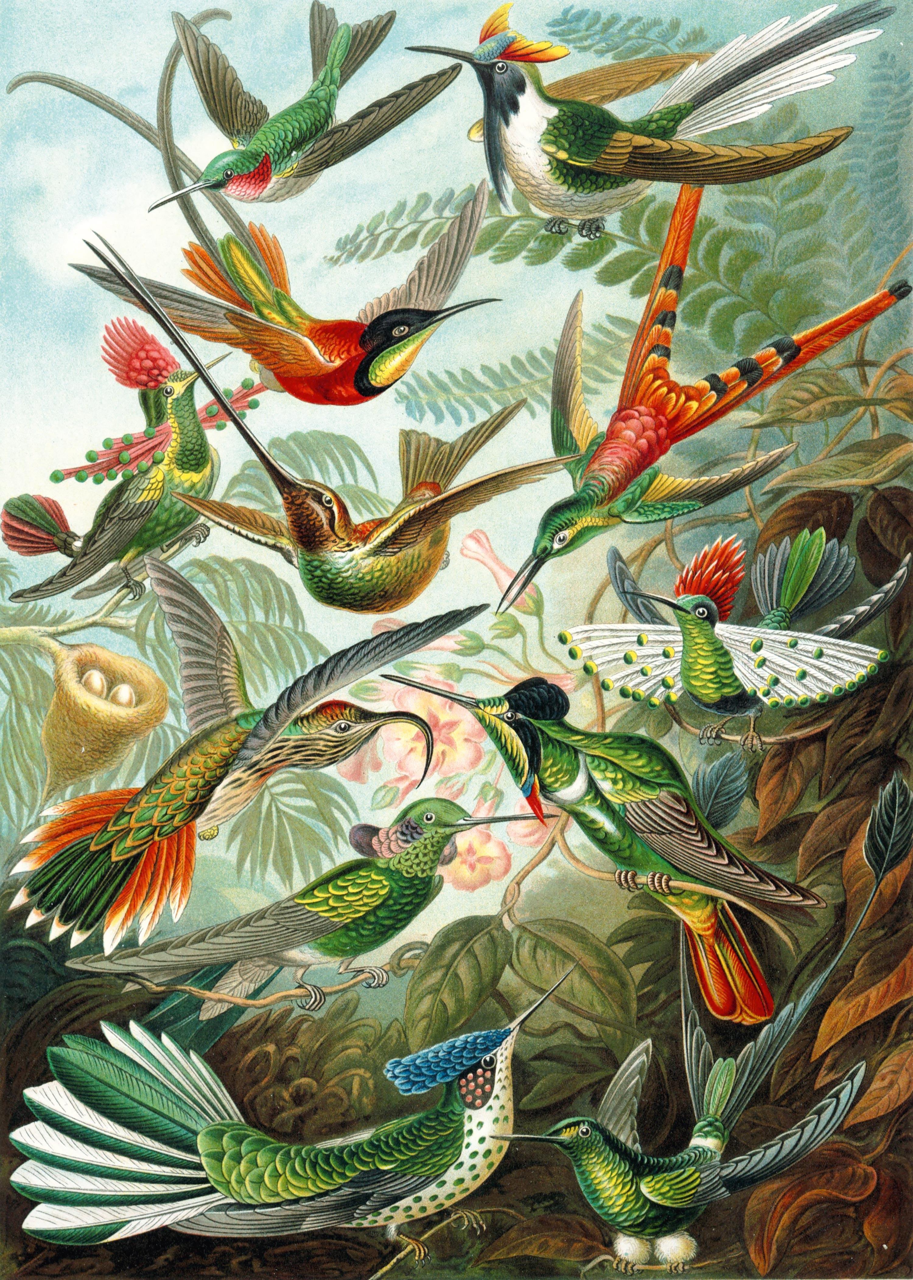 La diversité des colibris mâles