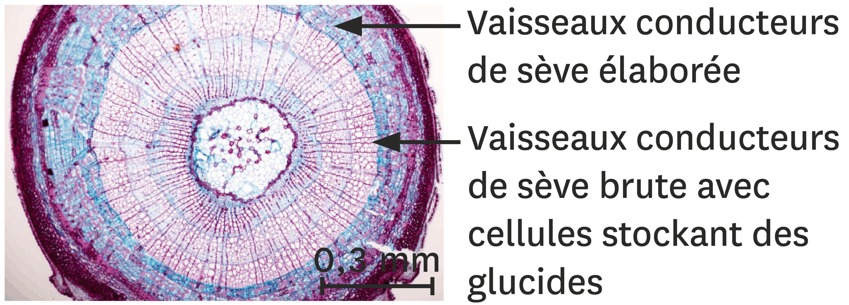 <stamp theme='svt-green1'>Doc. 3</stamp> La localisation des réserves de glucides dans un tronc d'érable.