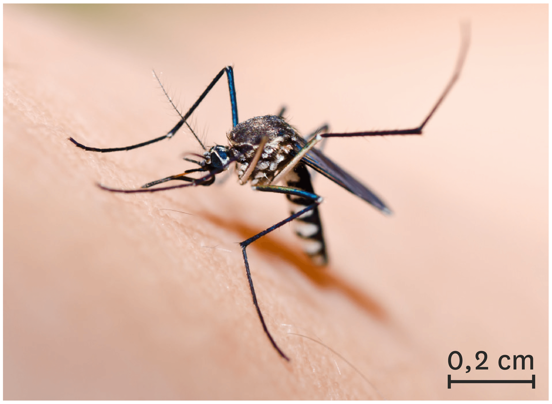 <stamp theme='svt-green1'>Doc. 1</stamp> Le moustique tigre, une espèce invasive.
