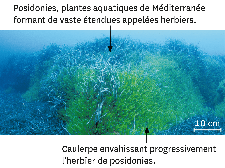<stamp theme='svt-green1'>Doc. 3</stamp> La caulerpe en Méditerranée.