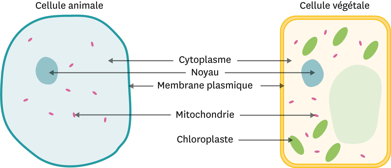<stamp theme='svt-green1'>Doc. 2</stamp> Comparaison entre une cellule animale et une cellule végétale.