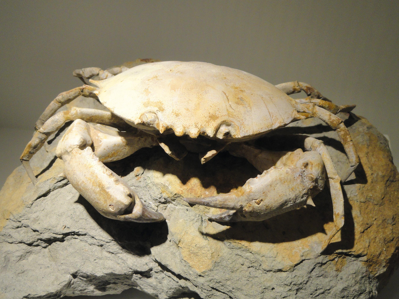 <stamp theme='svt-green1'>Doc. 3</stamp> Un exemple de fossiles de crabe.