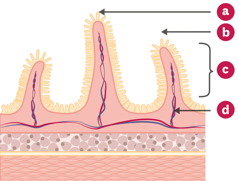 <stamp theme='svt-green1'>Doc. 1</stamp> Schéma d'une coupe transversale de l'intestin grêle.