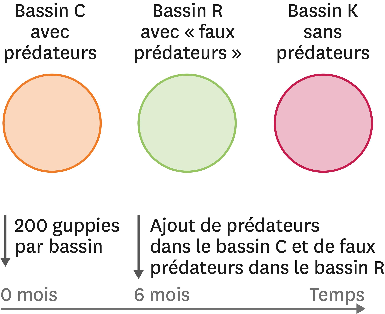 <stamp theme='svt-green1'>Doc. 2</stamp> Une expérience avec des bassins artificiels pour tester l'effet de la prédation sur les couleurs des guppies mâles.
