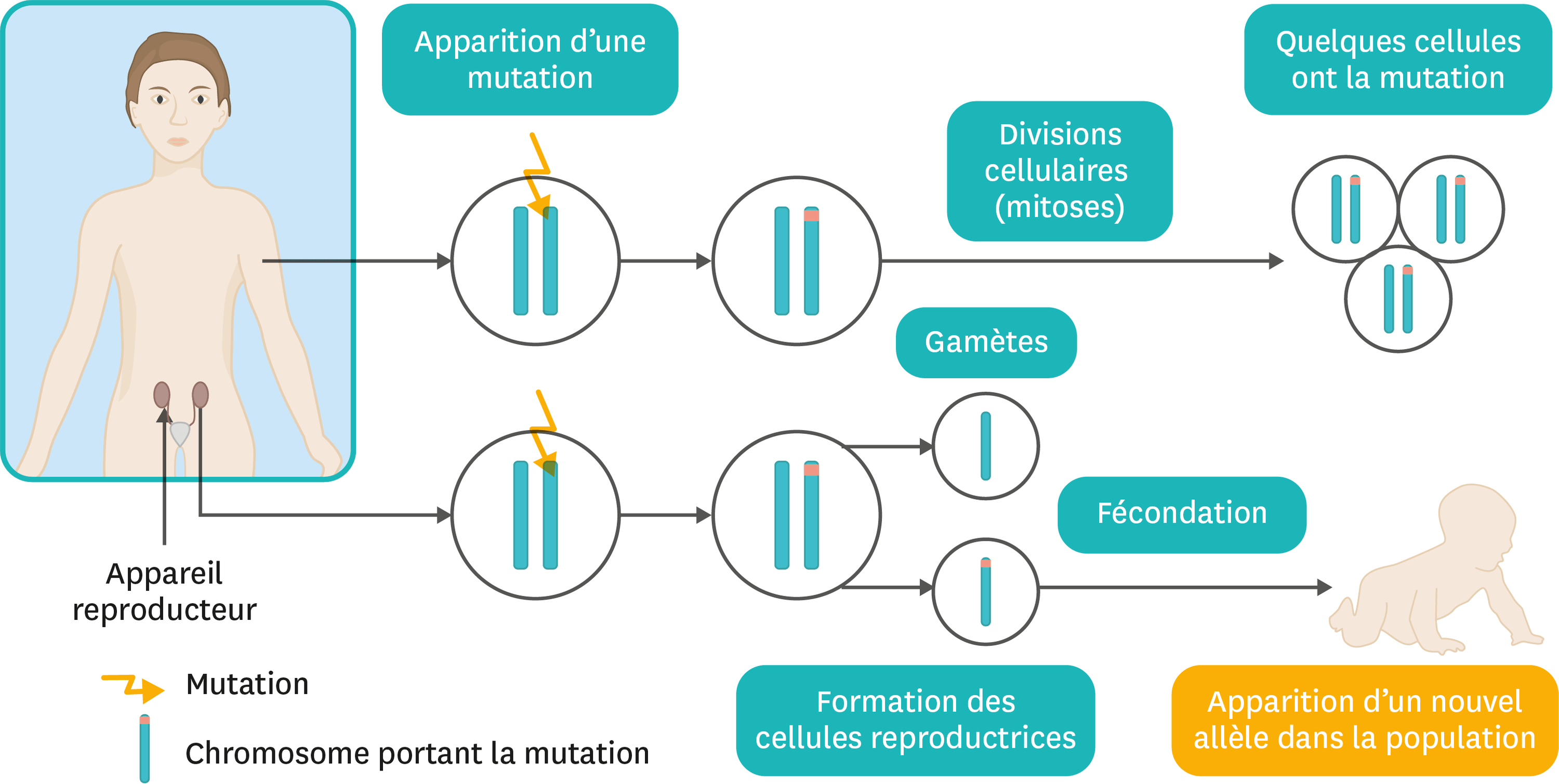 <stamp theme='svt-green1'>Doc. 4</stamp> Le devenir des mutations.
