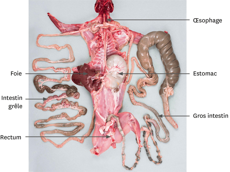 <stamp theme='svt-green1'>Doc. 2</stamp> Une dissection de l'appareil digestif du lapin.