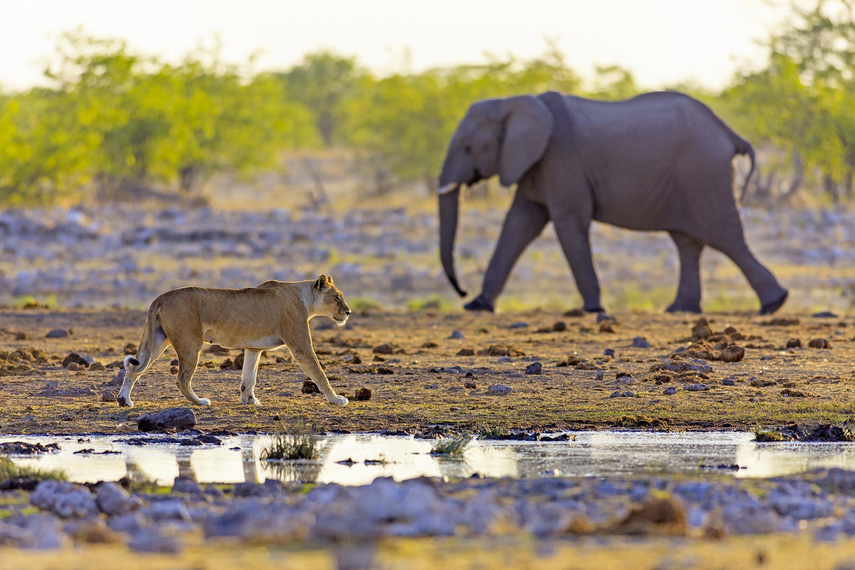 <stamp theme='svt-green1'>Doc. 2</stamp> Lionne et éléphant, en Namibie.
