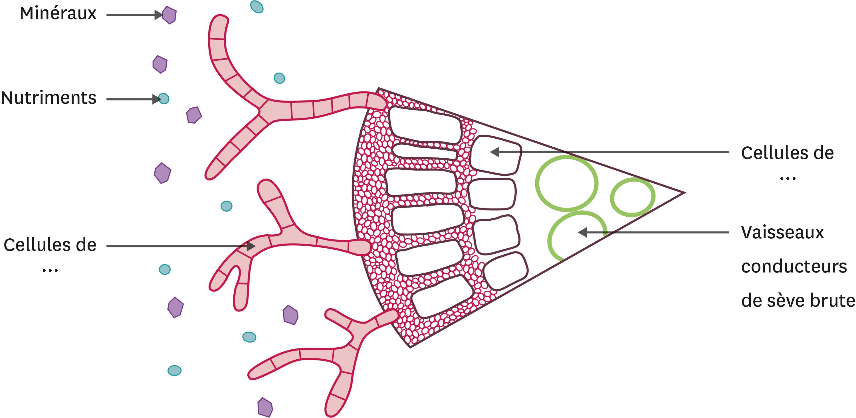 <stamp theme='svt-green1'>Doc. 5</stamp> Schéma bilan de l'interaction entre le champignon et la racine de pin.