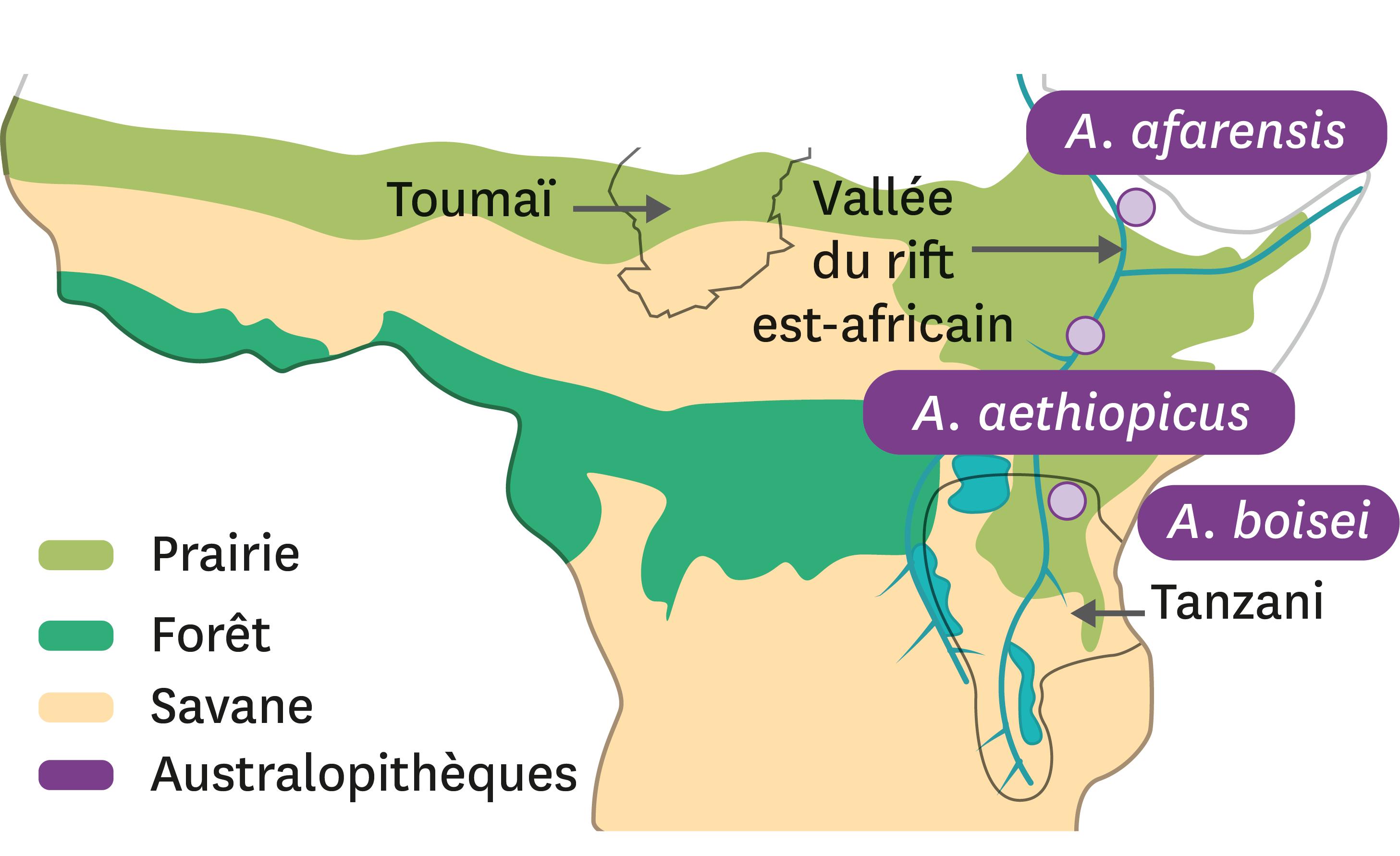 <stamp theme='svt-green1'>Doc. 1</stamp> Localisation de quelques fossiles d'australopithèques connus en 1980.