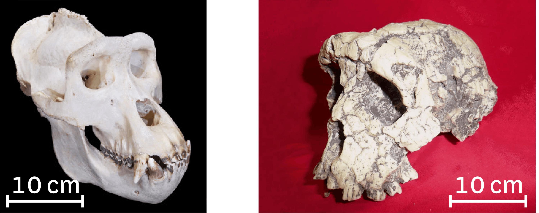 <stamp theme='svt-green1'>Doc. 3</stamp> Comparaison du crâne d'un gorille (à gauche) et du crâne de Toumaï (à droite).