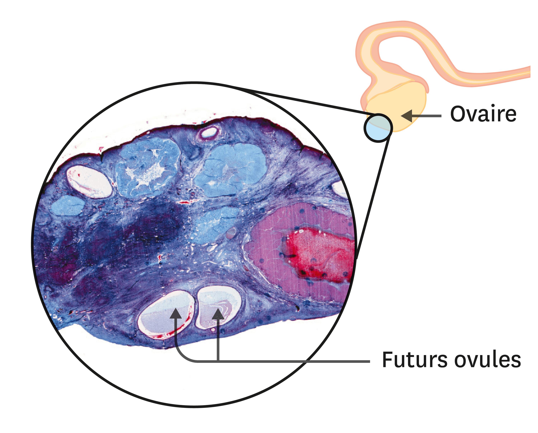 <stamp theme='svt-green1'>Doc. 4</stamp> Une observation de coupe d'ovaire au microscope optique (1 cm = 1 mm).