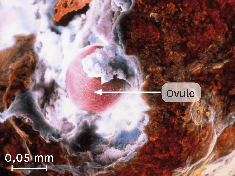 <stamp theme='svt-green1'>Doc. 5</stamp> Une ovulation observée au microscope électronique à balayage (image colorisée).