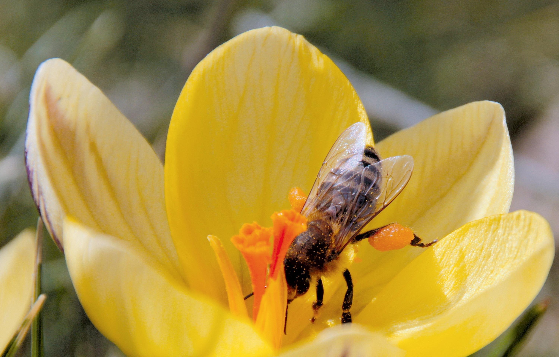 <stamp theme='svt-green1'>Doc. 6</stamp> Pollinisation par une abeille.