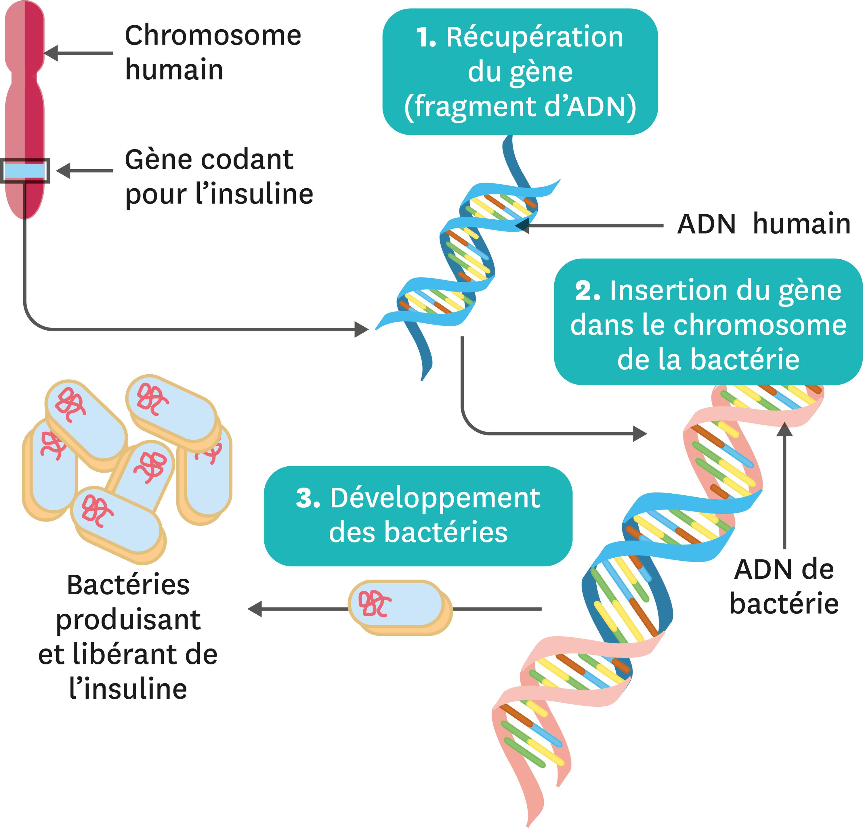 <stamp theme='svt-green1'>Doc. 5</stamp> Principe de la transgénèse permettant la production