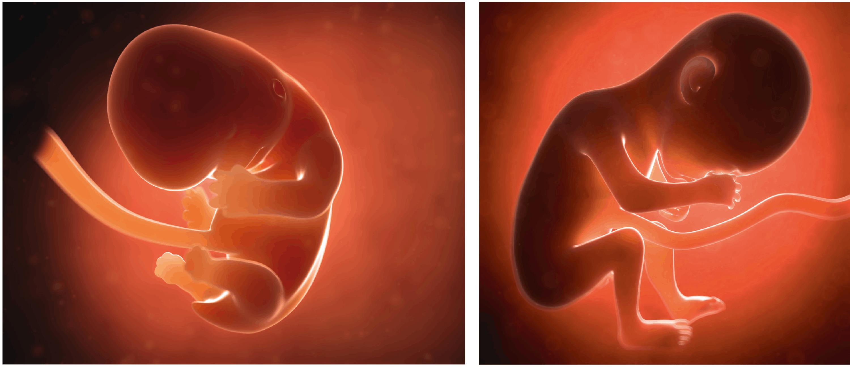 <stamp theme='svt-green1'>Doc. 2</stamp> Le futur bébé au bout de 2 mois (à gauche) et de 6 mois de grossesse (à droite).