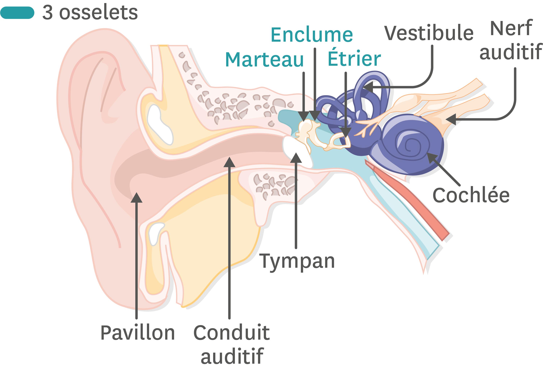 <stamp theme='pc-green1'>Doc. 1</stamp> L'anatomie de l'oreille.