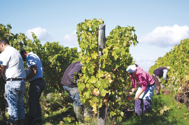 <stamp theme='his-green2'>Doc. 2</stamp> Les vendanges en Dordogne: une récolte manuelle du raisin