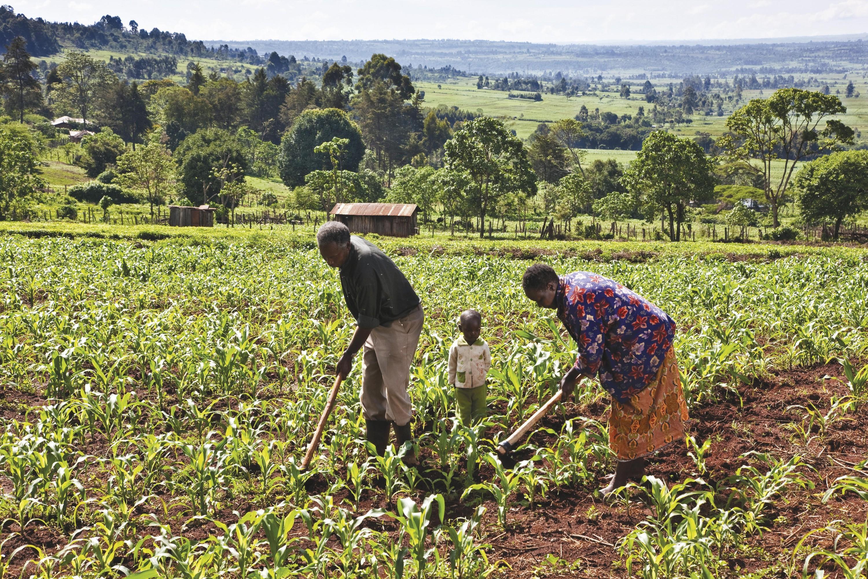 <stamp theme='his-green2'>Doc. 4</stamp> Le désherbage du maïs au Kenya