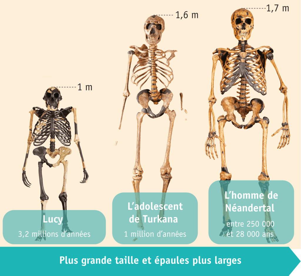 <stamp theme='his-green2'>Doc. 3</stamp> Les squelettes de différents hommes préhistoriques