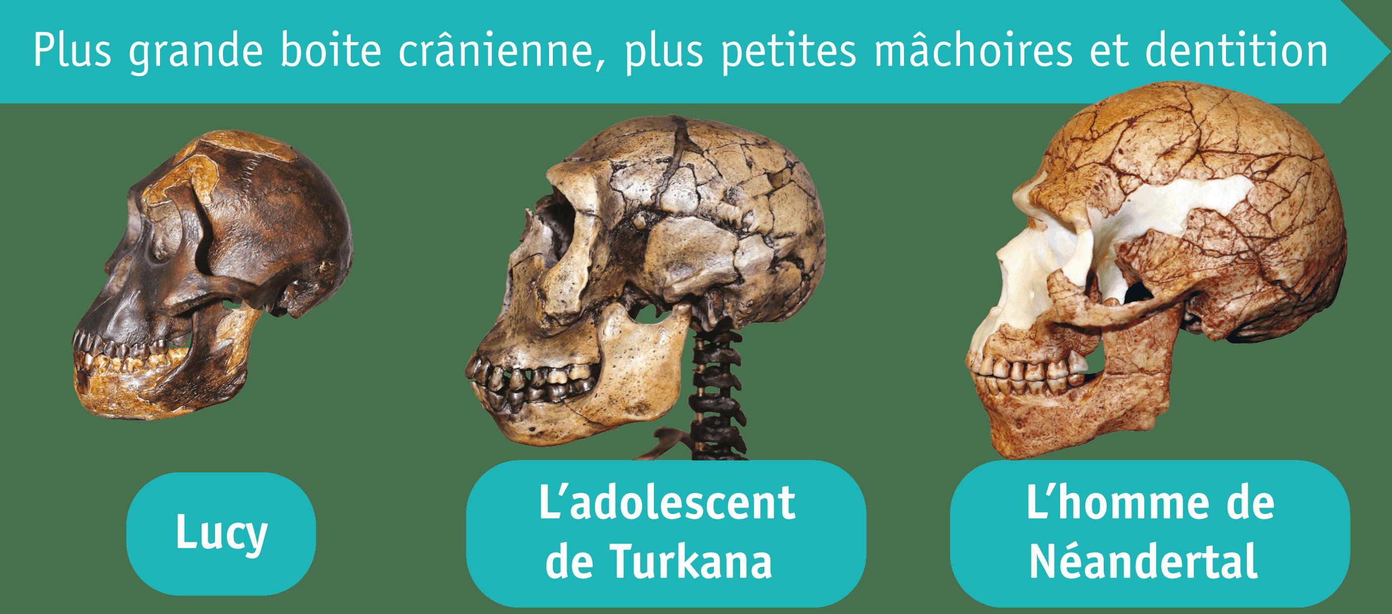 <stamp theme='his-green2'>Doc. 1</stamp> Les crânes de différents hommes préhistoriques