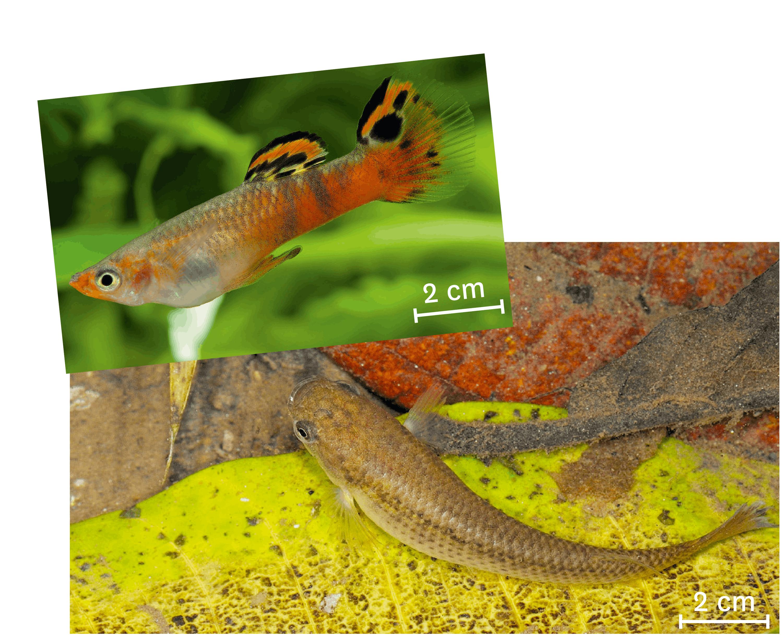 <stamp theme='svt-green1'>Doc. 6</stamp> Un guppy (en haut) et son prédateur, un rivulus (en bas).