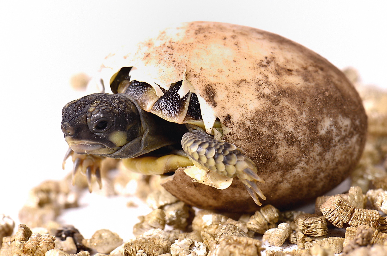 Un bébé tortue.