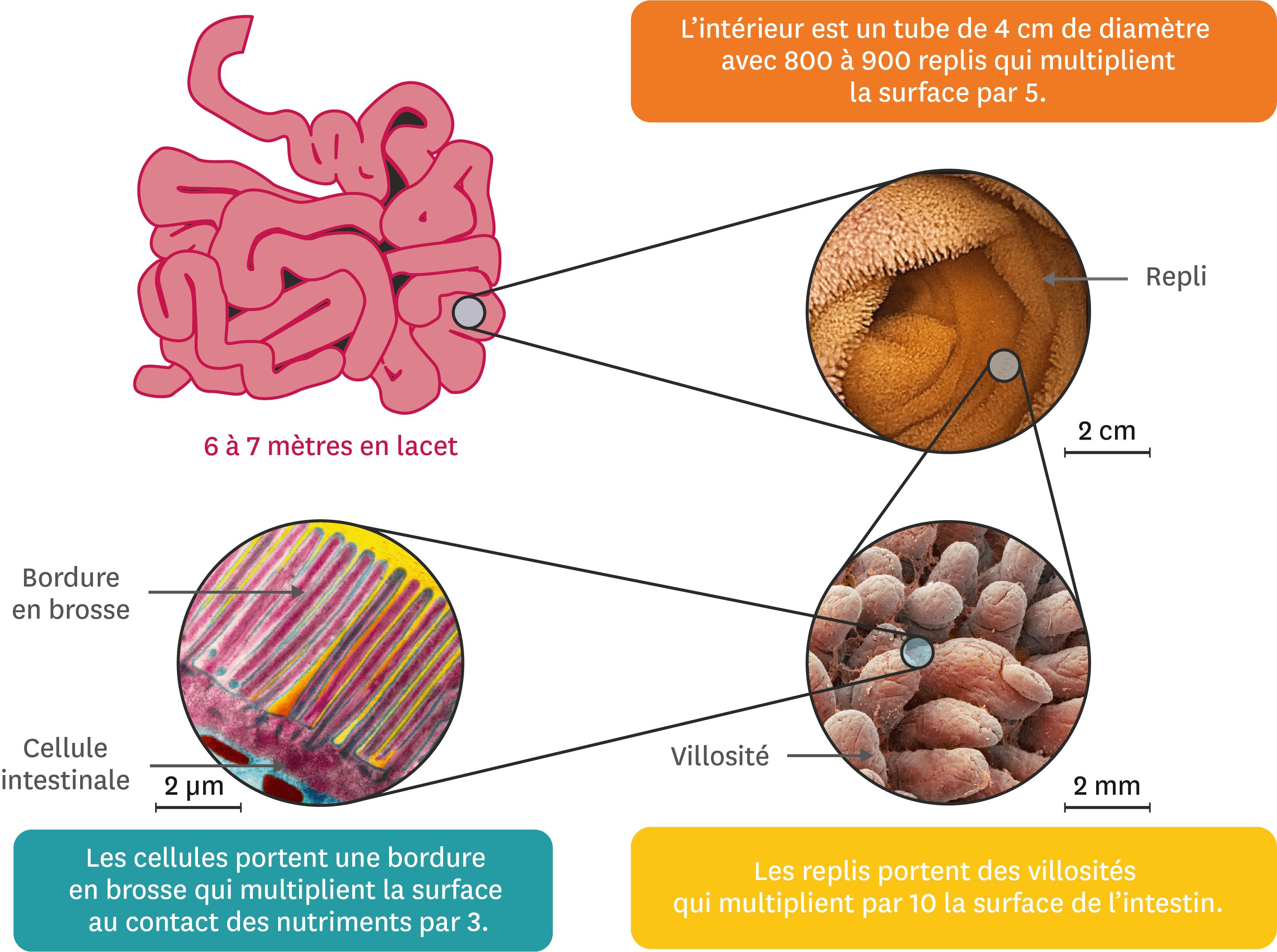 <stamp theme='svt-green1'>Doc. 4</stamp> L'intestin, une surface d'échange.