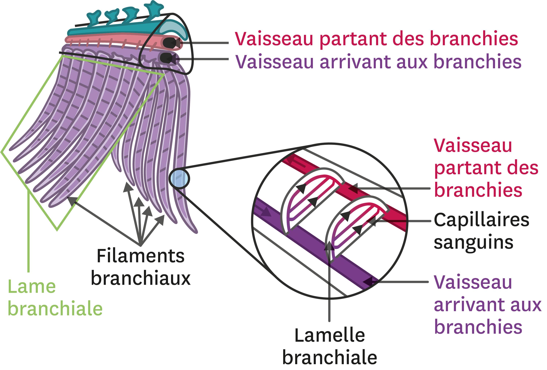 <stamp theme='svt-green1'>Doc. 1</stamp> Un exemple d'une grande surface d'échange : les branchies.